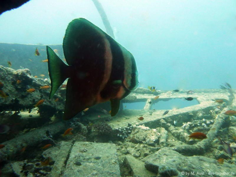 Fledermausfisch Mittschiffs der Thistlegorm